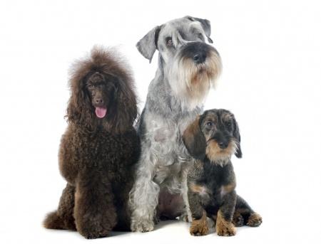 trzy psy w salonie pielęgnacji